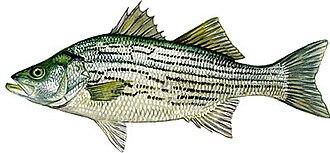 Hybrid striped bass - Image: Hybrid Striped Bass