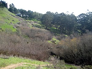 "Glen Canyon Park - Glen Canyon Park in winter. The photograph shows three characteristic features of the park's landscape. The vividly green wild oat (Avena fatua) and slender wild oat (Avena barbata) grasses on the left cover the steep eastern slope of the canyon. The line of blue gum eucalyptus trees is a windbreak planted in the 1850s following Adolph Sutro's purchase of this land, which he named his ""Gum Tree Ranch"". The willow thickets in the bottom and bottom-right of the photograph surround Islais Creek and a small wetland; the wetland is traversed by a boardwalk leading to the trail seen emerging from the thicket."