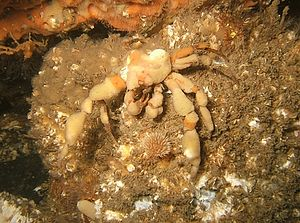 Menai Strait - A crab wearing a sponge suit seen underwater below the Menai Suspension Bridge