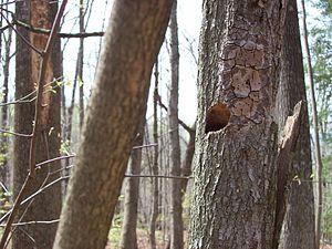 Carolina chickadee - A Carolina chickadee cavity nest site, previously red-bellied woodpecker