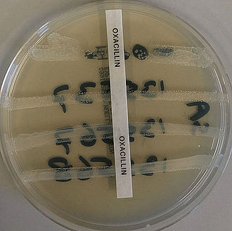 Methicillin-resistant Staphylococcus aureus - The MRSA resistance to oxacillin being tested, the top s. aureus isolate is control and sensitive to oxacillin, the other three isolates are MRSA positive