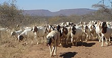 Kangal Shepherd (livestock-guarding dog) and flock of goats in Namibia.jpg