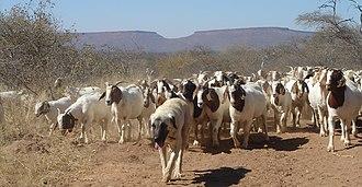 Cheetah Conservation Fund - Kangal Shepherd guarding livestock in Namibia
