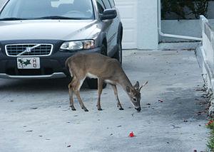Big Pine Key, Florida - Image: Key Deer Lick