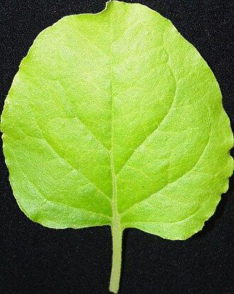 Nicotiana benthamiana - Nicotiana benthamiana, leaf