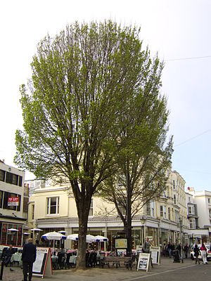 Ulmus 'Lobel' - 'Lobel' elms, East Street, Brighton, UK.