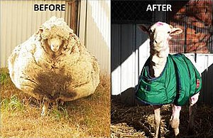 Chris (sheep) before and after.jpg