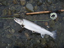 Photo of sea-run Dolly Varden next to fly rod
