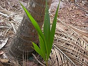 A young coconut palm