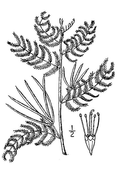 File:Desmanthus leptolobus drawing.jpeg