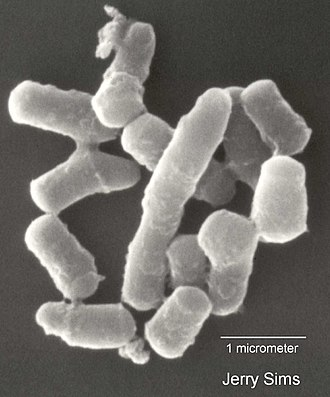 Rhodococcus - Scanning electron micrograph of Rhodococcus sp. strain Q1 grown on quinoline - the organism can use quinoline as a sole source of carbon, nitrogen, and energy, tolerating concentrations up to 3.88 millimoles per liter.