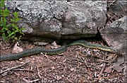 Speckled King Snake.jpg