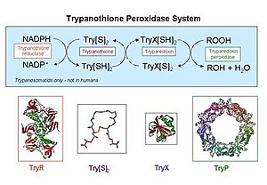 Trypanothione - Image: Try P cycle