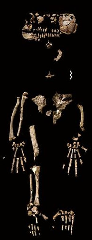 Ardi - The recovered fragments of Ardi's skeleton