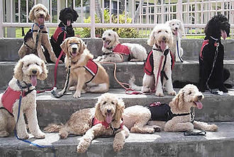 Labradoodle - A group of labradoodle Assistance Dogs.