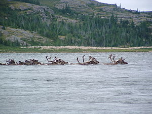 Caribou crossing Leaf River