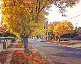 Golden ash trees on Langibanool avenue Hamlyn Heights, Victoria, Australia