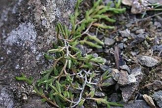 Selaginella - Wallace's Selaginella (Selaginella wallacei)