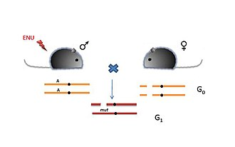 ENU - Figure 4: Deletion Screens.In this screen, ENU-treated males are crossed to females homozygous for a deletion of the region of interest. The G1 progeny are compound heterozygotes for the ENU-induced mutation. Also, they are haploid with respect to the genes in the deleted region and thus loss-of-function or gain-of-function due to the ENU-induced mutation is expressed dominantly. Thus deletion screens have an advantage over other recessive screens due to the identification of the mutation in the G1 progeny itself.