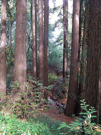 Sonoma Mountain - Redwood grove on north flank of Sonoma Mountain in a riparian zone.