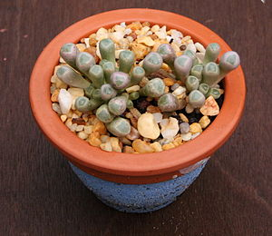 Fenestraria - Fenestraria rhopalophylla
