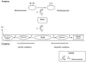 Oxidative folding - Oxidative pathway in Gram-negative bacteria
