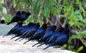 Shiny cowbird - Grouping of males