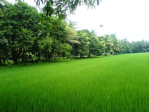 Coastal Andhra - Lush green farms in East Godavari.