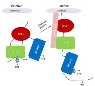 Autophosphorylation - Image: Regulation of the Src kinase by autophosphorylation
