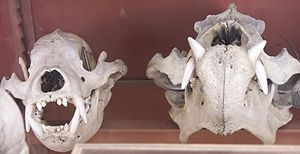 Sloth bear - Skulls of a Sri Lankan sloth bear (left) and a common sloth bear (right) from the Muséum national d'histoire naturelle