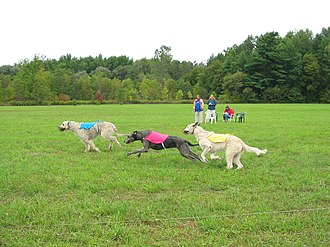 Lure coursing - Irish Wolfhounds Coursing in North America at an IWCC Lure Trial.