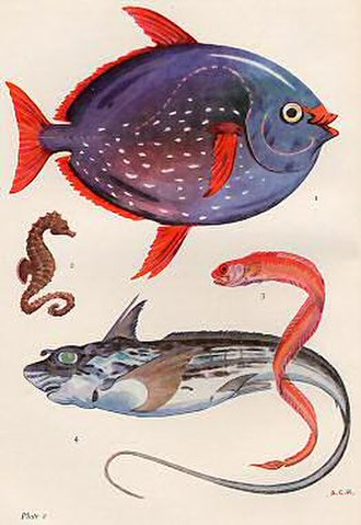 Alister Hardy - Hardy's artistry in the service of science: Rare and Unusual Fish in British Waters. 1. Opah, Lampris guttatus.  2. Sea Horse, Hippocampus europaeus. 3. Red Bandfish, Cepola rubescens. 4. Rabbit-fish, Chimaera monstrosa