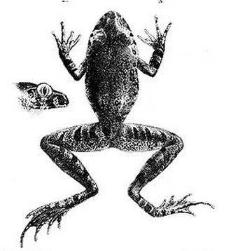 Arthroleptidae - Scotobleps gabonicus