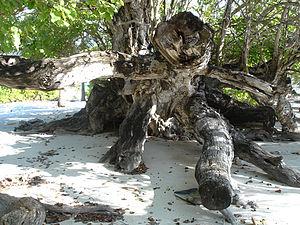 Muhammad Thakurufaanu Al Auzam - Image: Old kaani tree of maroshi