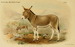 Wild Ass (feral donkey?) in Socotra, from The ...