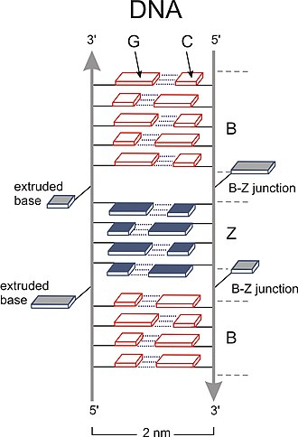 Chromatin - Fig. 3: Structure of DNA with two B-Z DNA junctions: It encompasses 1. breakage of a hydrogen-bond, where a Guanine rotates around its glycosyl-bond and the sugar thereby transforms into its syn-conformation. 2. Rotation of the corresponding second base (Cytosine) involving rotation of the sugar around the sugar-phosphate-bond. 3. At the B-Z junction hydrogen-bonds remain broken and bases are extruded.
