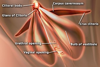 Corpus cavernosum of clitoris - Shows the sub-areas of the clitoris. Areas include clitoral glans, body, crura.  Also shows vestibular bulbs and corpus cavernosa