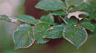 <i>Ulmus minor</i> Atinia Variegata Elm cultivar