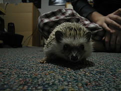 A domesticated hedgehog