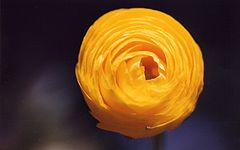 Ranunculus - Chi Ranunculus 240px Heart of gold