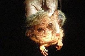 Pygmy tarsier - Image: Pygmy Tarsier 2008