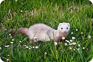 Rabbiting - A silverback ferret being used to hunt