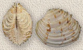 <i>Venus</i> (bivalve) Genus of bivalves