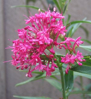 Centranthus ruber - Closeup of inflorescence