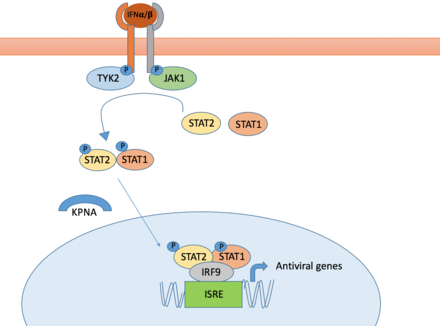 JAK/STAT pathway JAK-STAT Pathway overview as related to NNSVs.png