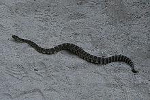 Rattlesnake KingsCanyon.jpg