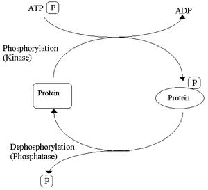 Edmond H. Fischer - Reversible protein phosphorylation