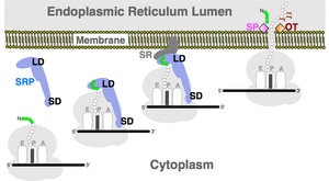 Signal recognition particle RNA - The classical function of SRP in translation-translocation. A membrane separates the cytosol from the endoplasmic reticulum. A ribosome (light gray with A, P, and E sites) synthesizes a protein with a signal peptide (green) encoded by messenger RNA (indicated by a line with 5'- and 3-ends). The elongated SRP (blue), with its large (LD) and small (SD) domains, forms a complex which the membrane-resident SRP receptor (SR). When SRP separates, the protein crosses the membrane through a channel or translocon. The signal peptide may be removed by signal peptide peptidase (SP) and the protein modified by oligosaccharyl transferase (OT).