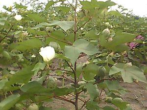 Thungapuram - பருத்தி செடி Parutti Cěţi (cotton plant)