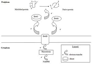Oxidative folding - Isomerization pathway in Gram-negative bacteria